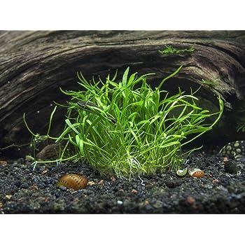 Micro Sword/Lilaeopsis novae-zelandiae - 1 x Bunch - Live Aquarium Plant