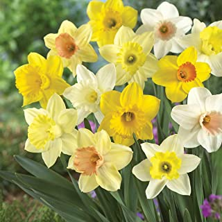 Burpee's 100 Days Daffodil - 25 Large Flower Bulbs | Yellow, Gold, and White