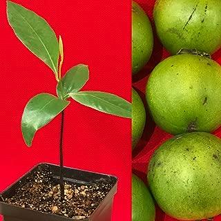Black Sapote Diospyros Nigra Chocolate Pudding Seedling Plant Tropic Fruit Tree