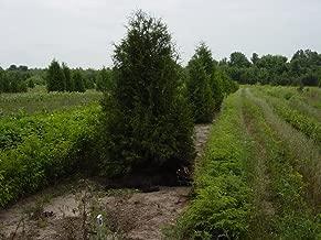 25 White Cedar Trees (Thuja occidentalis) 3-6