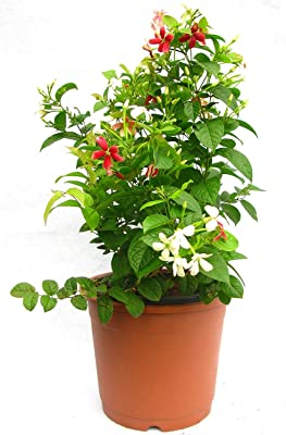 ΣaglesFord Live Madhumalati Madhulata Madhabilata Honeysuckle Rangoon Creeper Flower Plant In Pot