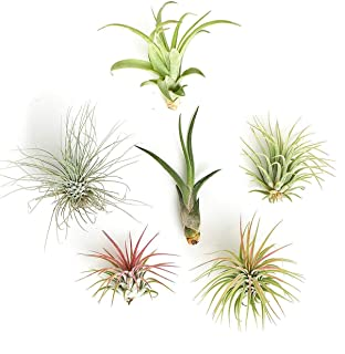Shop Succulents   Assorted Collection for Home Décor, DIY Terrariums Variety of Species, Tropical House Plant, 6-Pack B,