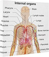 Dobend Canvas Picture Frames Major Internal Organs in the Human Body Chart Large Canvas Print