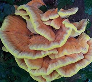 Chicken of the Woods Mushroom Plug Spawn 100 Plugs ~ Laetiporus sulphureus Grow