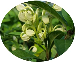 clerodendrum musical notes