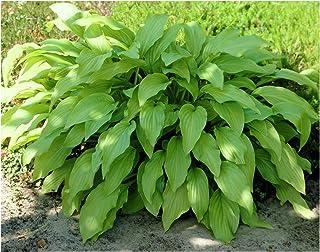 1 Quart Hosta Plant, Perennial, Landscaping, Border (ASF2), Dense Foliage, Attracts Birds (Honeybells)