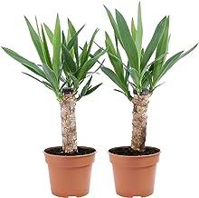 2x Yucca Elephantipes | Palmlelie 1 stam | Set van 2 | Hoogte 50-55cm | Pot - Ø12cm