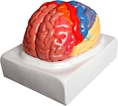 Walter Products B10444 Regional Human Brain Model, Life Size, 2 Parts, 7.5 x 7 x 8 Inches, Includes Base