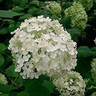 Hydrangea, arborescens, Annabelle, Hydrangea, Hydrangea Live Plants, (1) 1 yr, Hydrangea Shrub, Shrubs, Flowering Shrub, Fragrant Shrub, Cut Flowers, Bush, Live Plants, Live Plant, Perennial Shrub