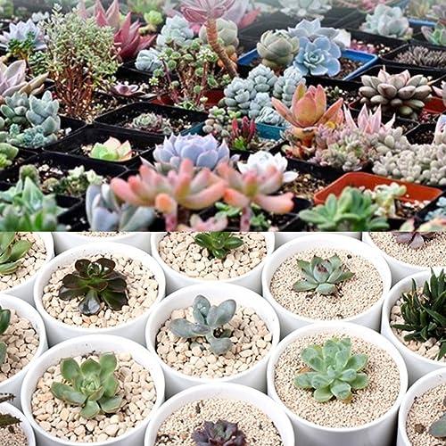 Bornbayb Plantes Succulentes Graines Plantes Ornementales Graines Plantes Mini Plantes pour la Maison Jardinage