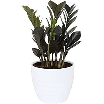 Costa Farms Raven ZZ Trending Tropicals Collection Live Indoor Plant, 12-Inch Tall, White Décor Planter