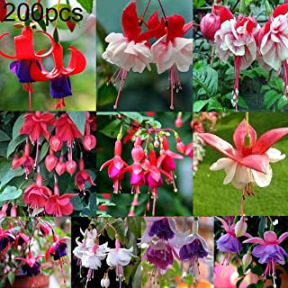 HomLand 200Pcs Fuchsia Hybrida Seeds Ornamental Flower Home Garden Office Bonsai Decor for Garden 200pcs Fuchsia Hybrida Seeds