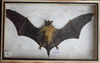 REAL HAIRLESS BAT Insect Taxidermy in wood box