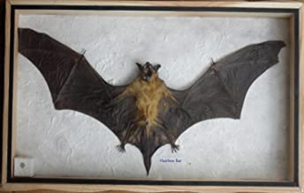 taxidermy bat in glass