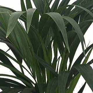 Kentia - Palmera de interior - Maceta 22cm. - Altura total aprox.1,40m. - Planta viva - (Envío sólo a Península)