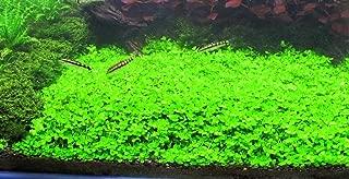 Montecarlo on 5 x 3 mat - Easy Foreground Carpet Aquarium Plant