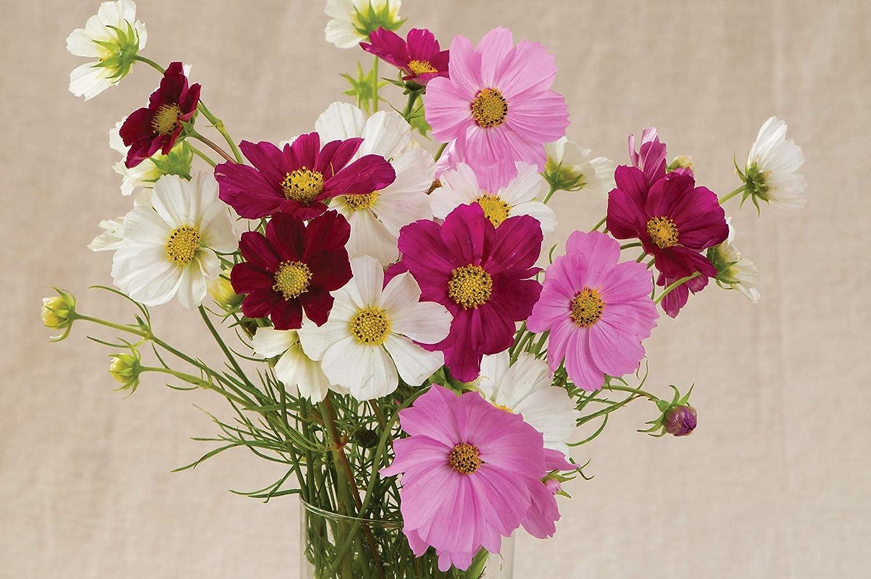 David's Garden Seeds Flower Cosmos Cash special price SAL8866 Versailles Mix Multi Cheap mail order shopping
