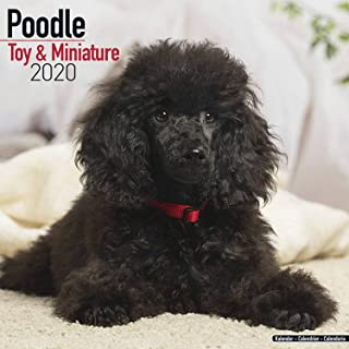 Poodle (Toy & Miniature) Calendar - Dog Breed Calendars - 2019 - 2020 Wall Calendars - 16 Month by Avonside (Multilingual Edition)