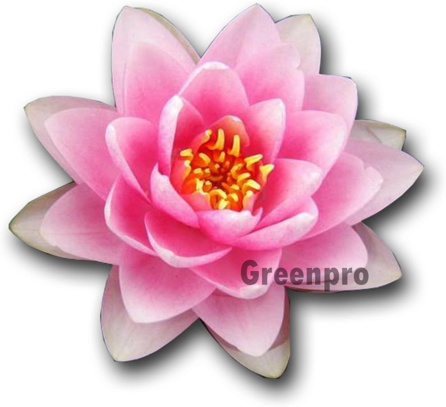 Live Aquatic Plant Nymphaea Madame Water Lady Under blast Under blast sales sales Lilies Hardy Pink