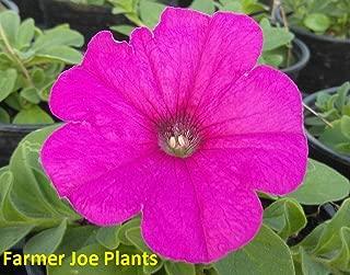 Risalana Petunia - Easy Wave - NEON Rose - 4'+ Long - 2 Plants - 4