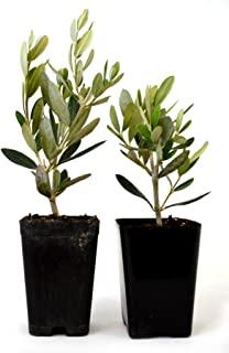 9GreenBox - Olive Tree - Tree of Peace - Olea europaea - 2 Pack