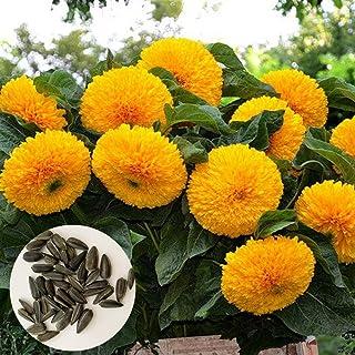 Sytaun 200 Unids Oso Semillas De Girasol Bonsai Flower Plant Home Garden Césped Decoración Fácil De Plantar, Planta Ornamental Semillas de Girasol Oso