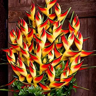 XKSIKjian's Garden 50Pcs Rare Heliconia Wagneriana Ornamental Plant Seeds Ornamental Plant Home Yard Office Decor Non-GMO Seeds Open Pollinated Seeds for Planting