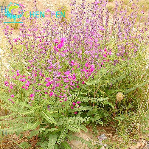 20pcs Herbal Astragalus Graines Japon Ginseng Graines Plantes Bonsai Petit Arbre Fleur Haut Nutrient Herb Roots New For Home & Garden