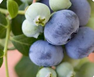Bluecrop Blueberry Seeds UPC 600188197525 + 1 Free Plant Markers (300)
