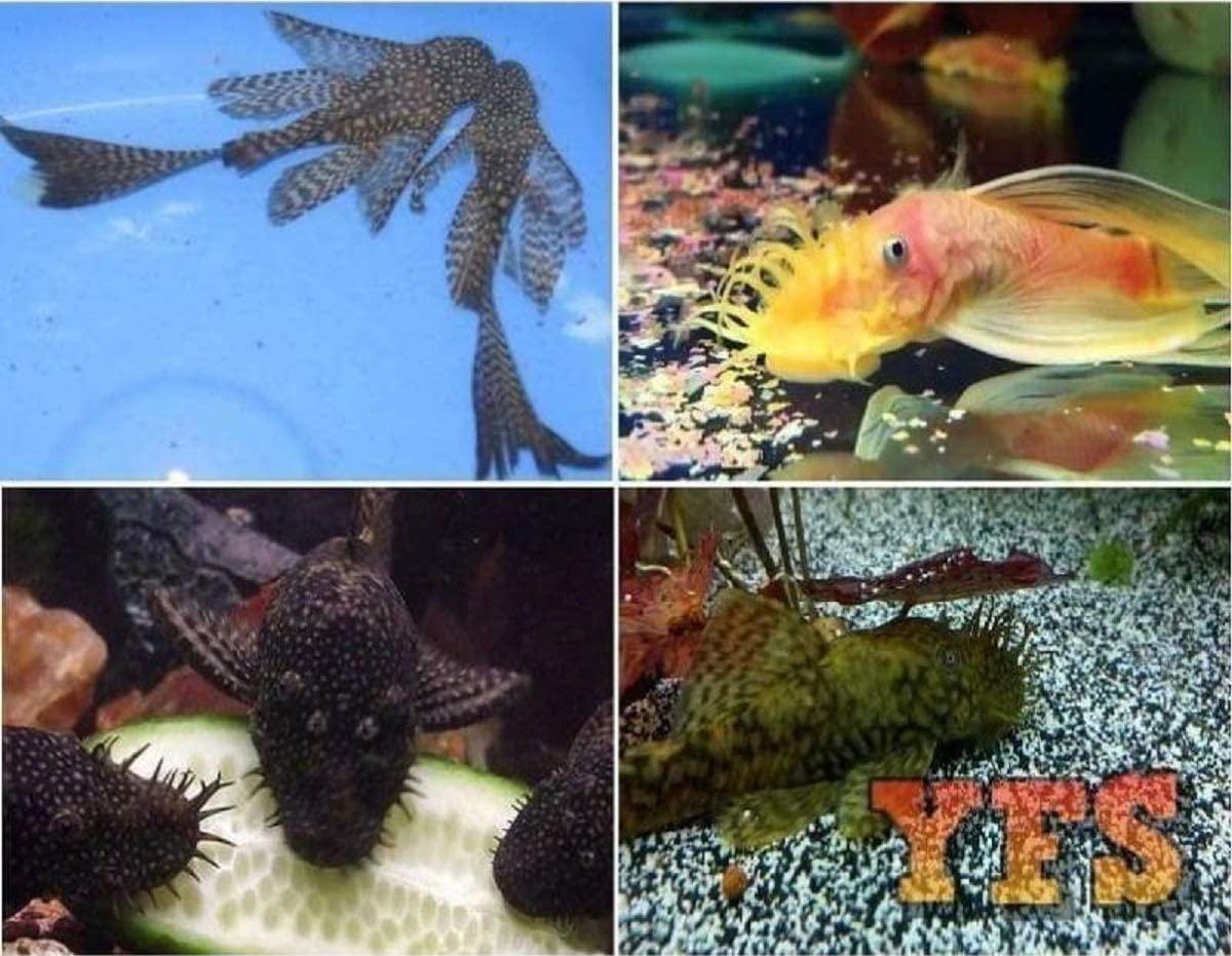 Live Fish Industry No. 1 - 6 Award-winning store Assorted Pleco Freshwat Bristlenose Package
