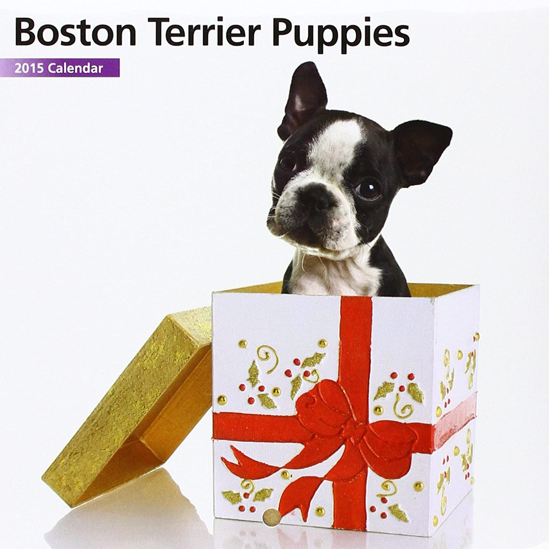 Boston Terrier Puppies Mini 2015 Wall Calendar