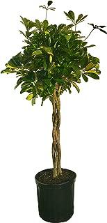 Umbrella Tree - 'Gold Capella' Live Braided Schefflera Arboricola - Florist Quality - Beautiful Indoor Tree - 3 Feet Tall