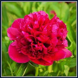 芍薬の球根*鉢植え,エレガントな白,非常に人気,太陽の下で,信じられないほどの見事な秘密の庭-10球根,赤