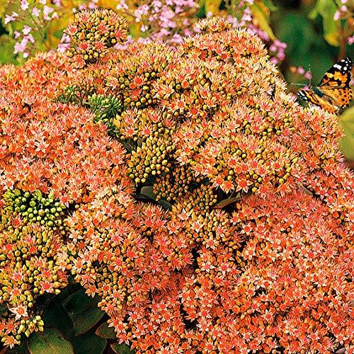Yukio Samenhaus - 100pcs Raritäten duftend Fetthenne Gartenstaude sternförmig Bodendecker immergrün Blumensamen Mischung winterhart mehrjährig für Beet