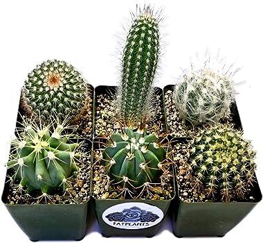 Fat Plants San Diego Large Cactus Plant(s) (4)