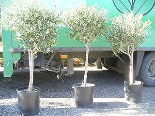 comprar comparacion Árbol de Olivo, tronco gordo (Olea europaea) aprox. 140 cm - 160 cm,