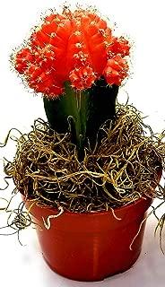 Fat Plants San Diego Small Grafted Moon Cactus Succulent Plants (1, Orange)