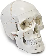 Wellden Medical Anatomical Human Skull Model, 3-part, Numbered, Life Size