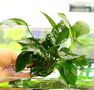 Live Aquatic Plant Fish Tank - Anubias Barteri Nana 20~27 Leaves -No pesticides(Plant Pot Excluded)