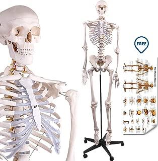 human skeleton interactive model