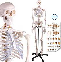 LYOU Human Skeleton Model, Medical Anatomical Skeleton Life Size 70.8 in with Rolling Stand for Anatomy Teaching and Studying, Free Colorful Poster Includes