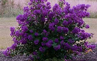"Miniature Crape Myrtle Assortment, Pack of 5, Darkest Purple, Bright Red, White, Pink and White Picotee, Light Purple, Matures 1`-5` (8""-1.5` When Shipped, Well Rooted in Pots with Soil)"