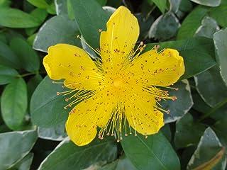 25 Plants St. John's Wort Hypericum in 3-1/2 inch Pots Live Plant #TND45