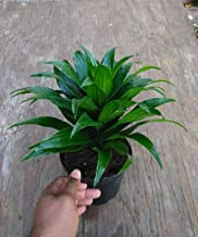1 Dracaena Janet Craig Deremensis Bare Root Live Plant
