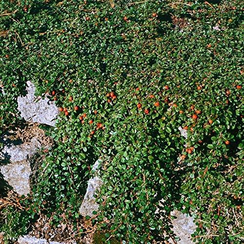 Cotoneaster congestus Hochstamm Zwergmispel Stamm Zierbaum kompaktwachsend immergrün (Stammhöhe 40 cm)