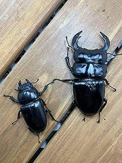 ブータンアンタエウス トンサ産 幼虫3頭セット 800cc 菌糸ボトル入り 月夜野きのこ園 アンテ