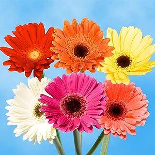 fresh gerbera daisies