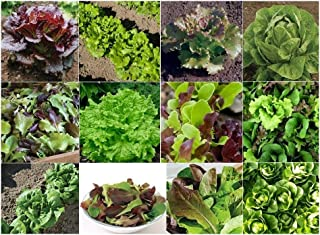 David's Garden Seeds Collection Set Lettuce Open Pollinated 9927 (Multi) 12 Varieties 5000 Seeds (Non-GMO, Open Pollinated, Heirloom, Organic)