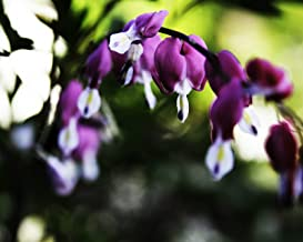 Dicentra Spectabilis Seeds ? BLEEDING HEART ? SAVE $$$ 4 BEST SELLERS ? 40 Seeds