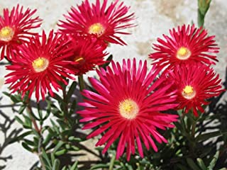 *Seeds and Things 200 Mixed Colors ICE Plant (Mesembryanthemum Daisy / Livingstone Daisy) Dorotheanthus Bellidiformis Flower Seeds